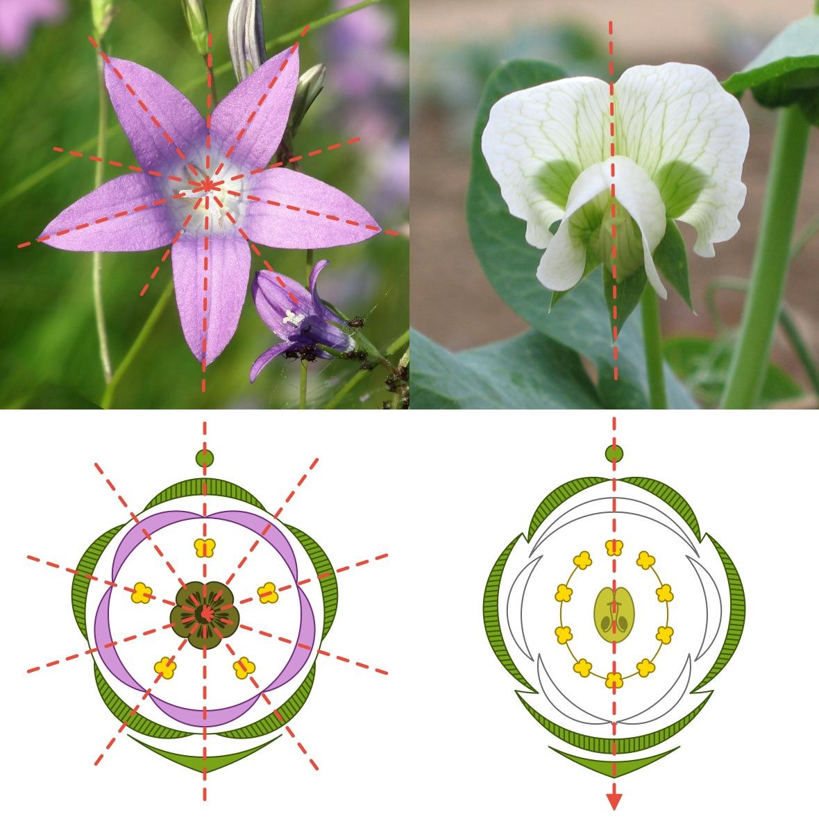 symetrie květů