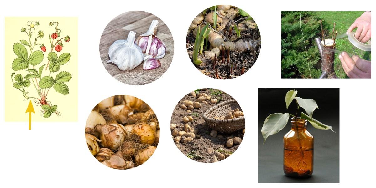 příklady vegetativního rozmnožování