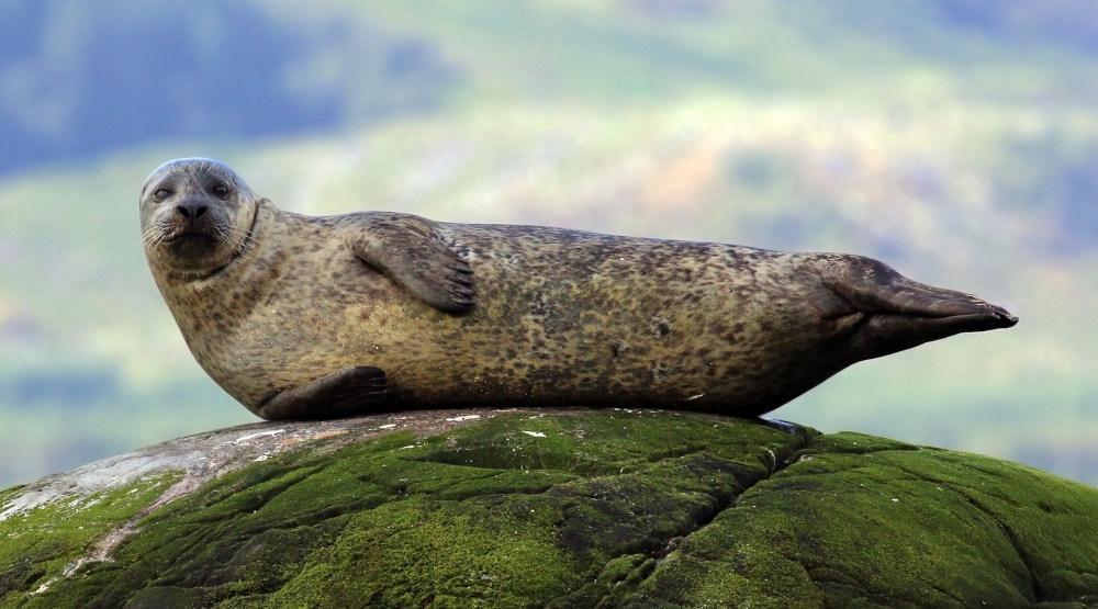 tuleň obecný