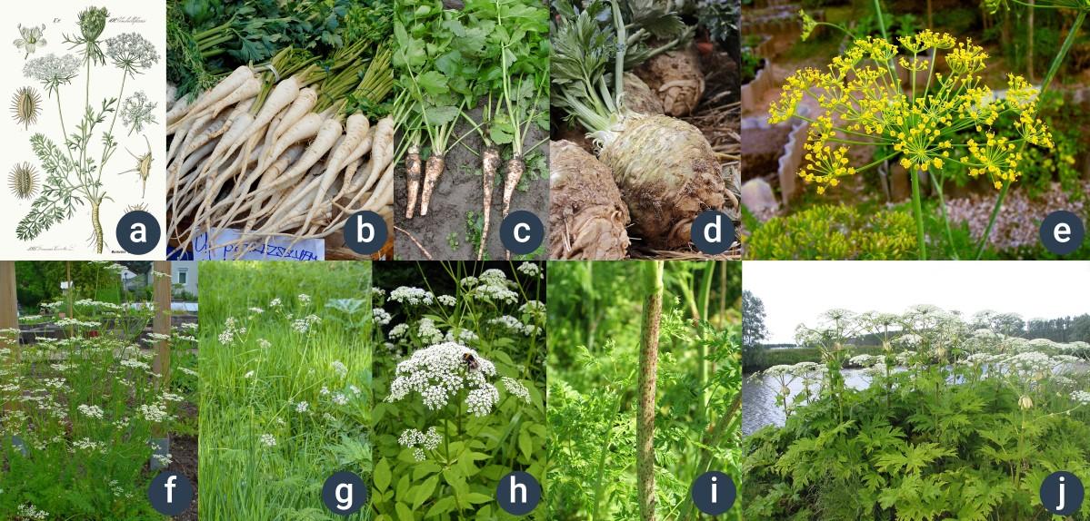 příklady miříkovitých rostlin
