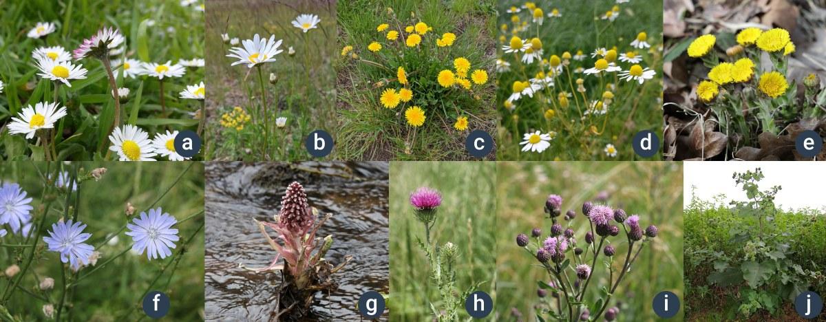 příklady hvězdnicovitých rostlin