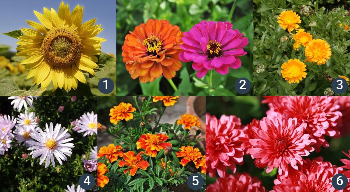 příklady okrasných hvězdnicovitých rostlin