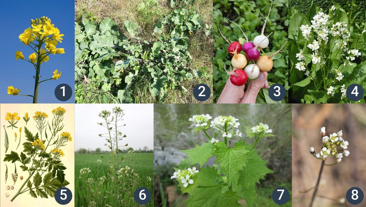 příklady brukvovitých rostlin