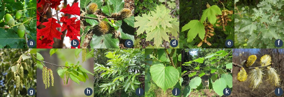 příklady listnatých stromů