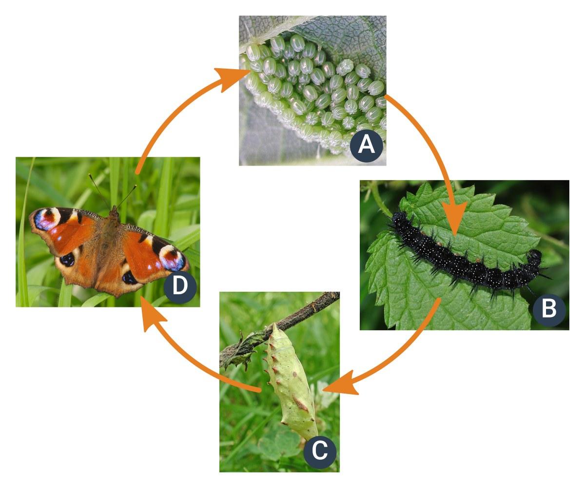životní cyklus hmyzu sproměnou dokonalou