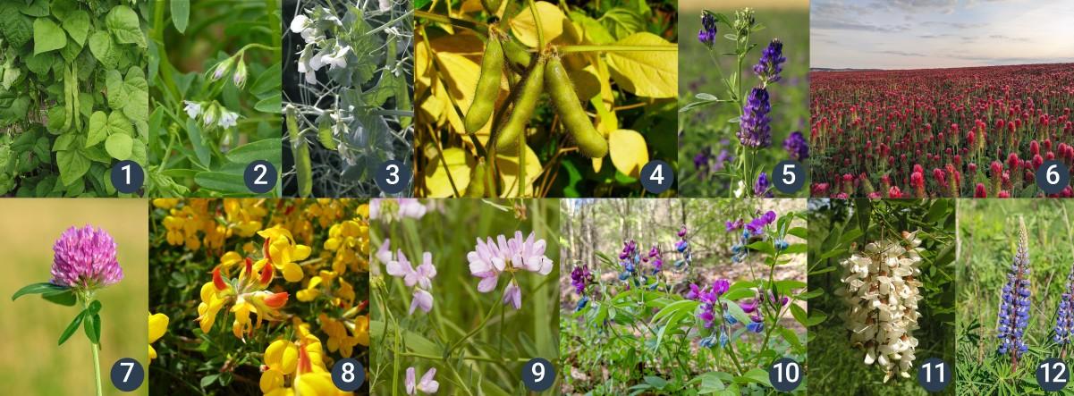 příklady bobovitých rostlin
