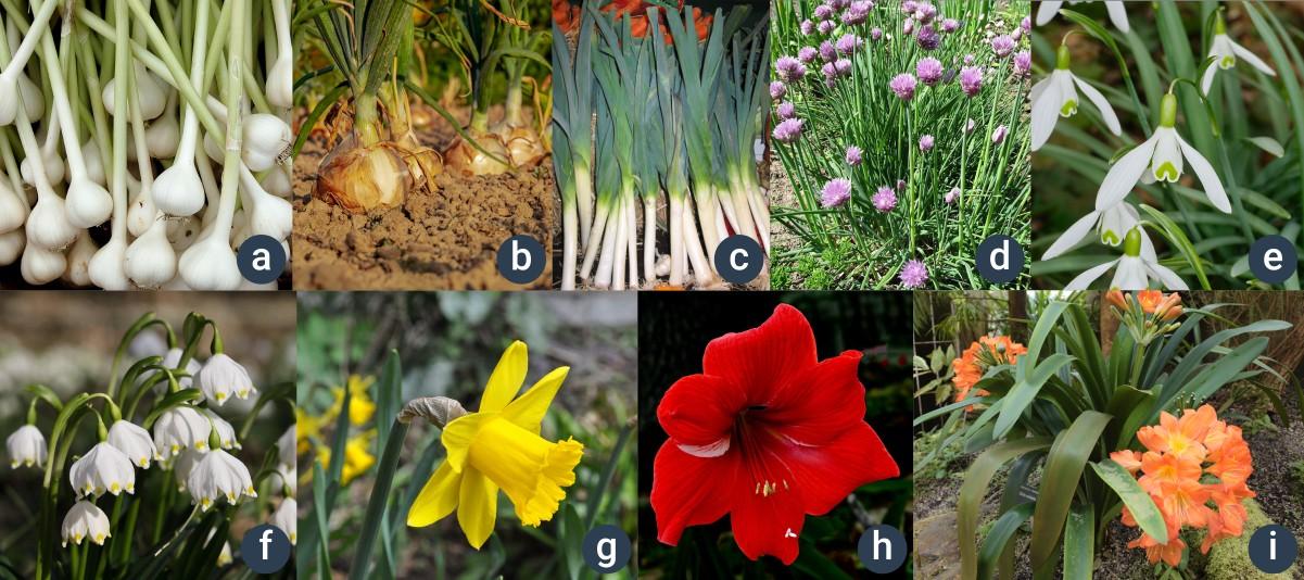 příklady amarylkovitých rostlin