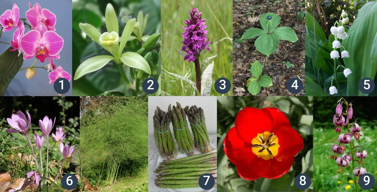příklady dalších jednoděložných rostlin