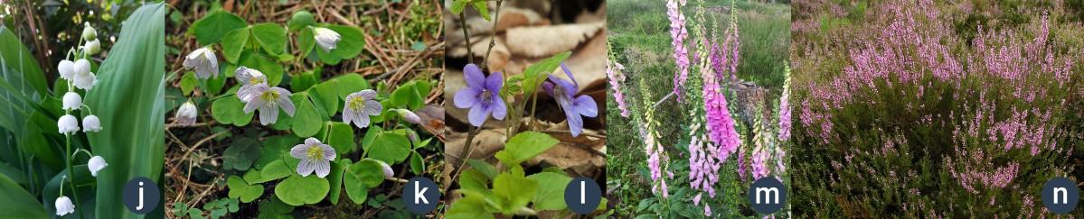 příklady lesních bylin