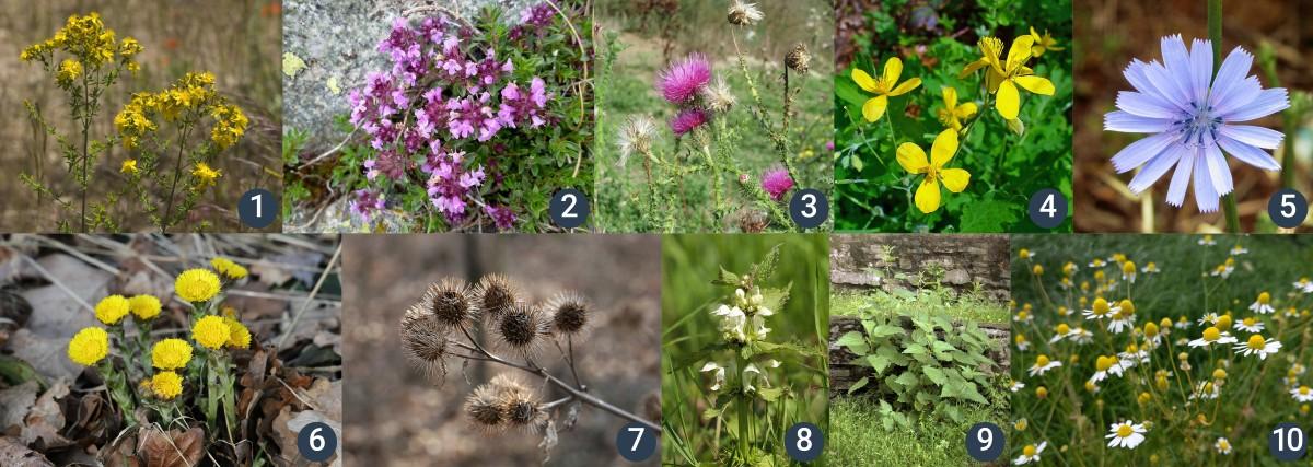příklady rostlin na rumištích, okrajích cest, v křovinách