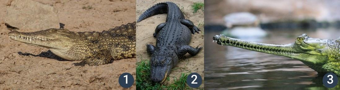 příklady krokodýlů