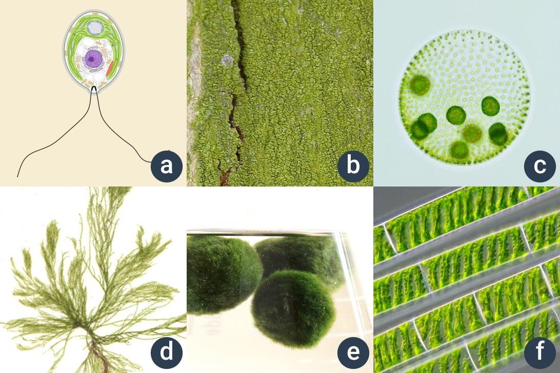 příklady zelených řas