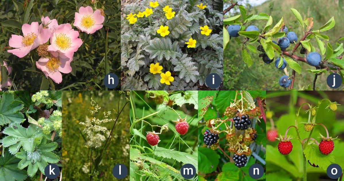 příklady růžovitých rostlin