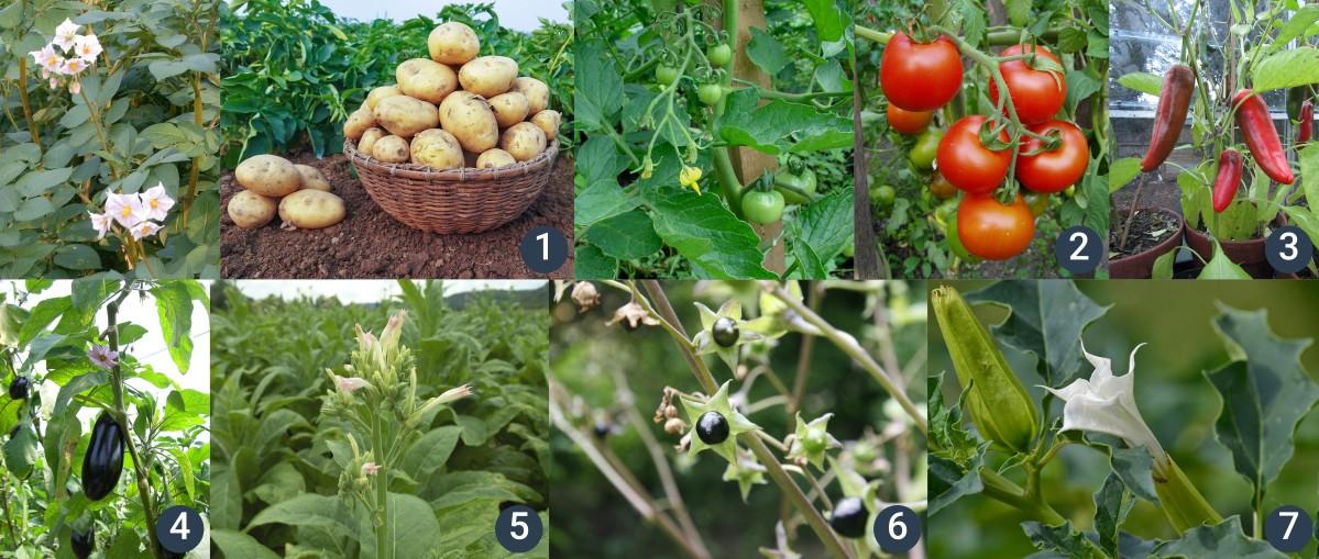 příklady lilkovitých rostlin
