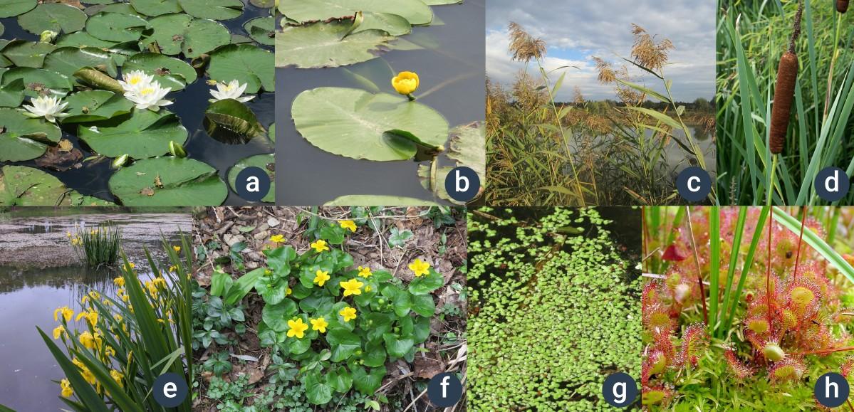 příklady rostlin rostoucích u vody či v ní