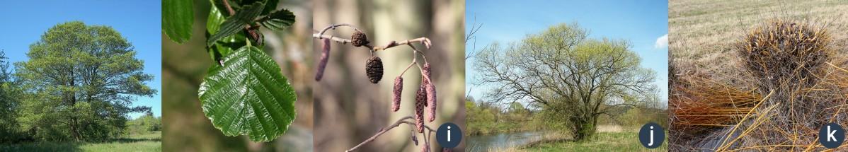 příklady dřevin rostoucích u vody