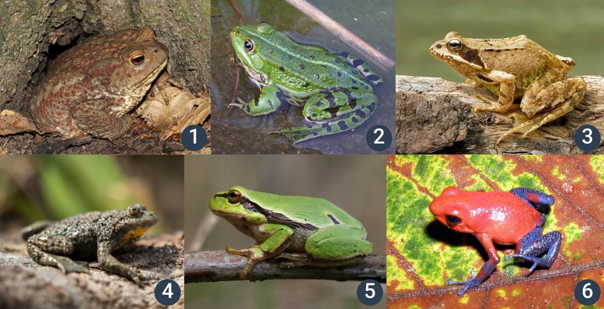 příklady bezocasých obojživelníků (žab)